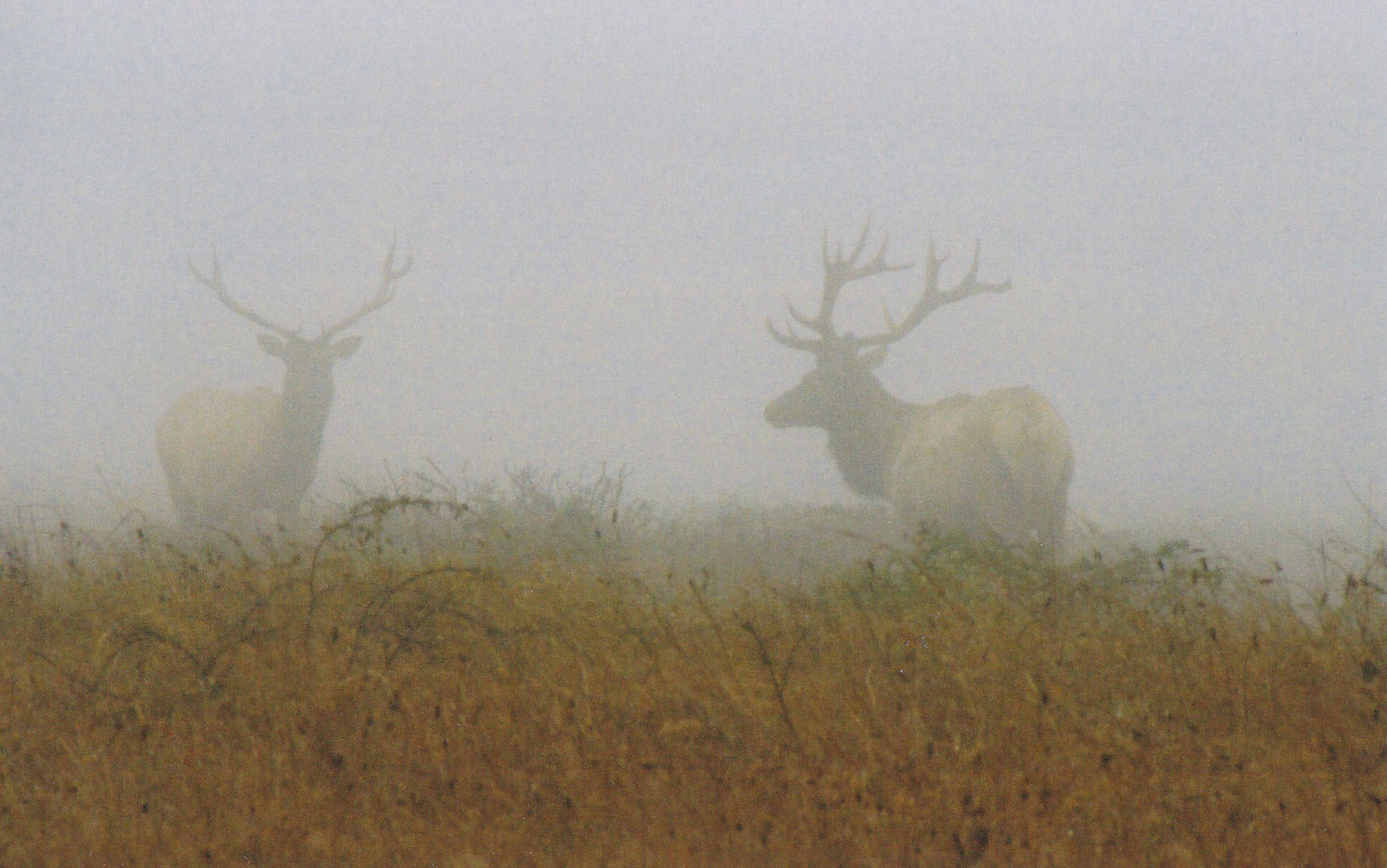 03 Tule Elk _Point Reyes 2